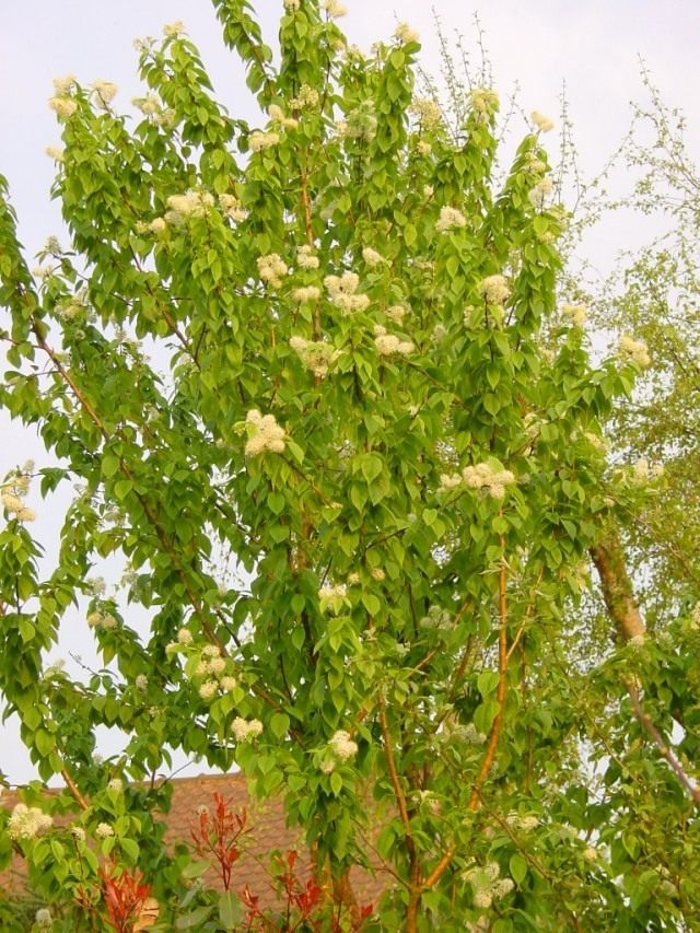 Черёмуха Маака (Prunus maackii)