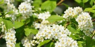 Черёмуха обыкновенная (Prunus padus)