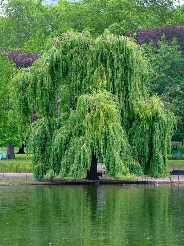 Плакучая форма Salix × sepulcralis