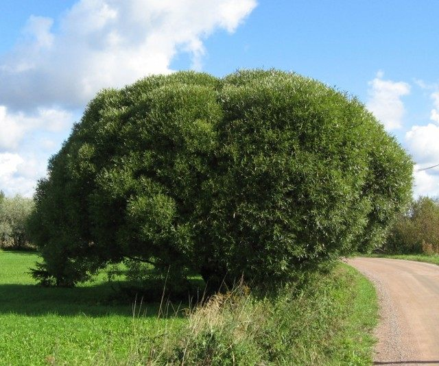 Ива ломкая, или Ракита, сорт 'Bullata'