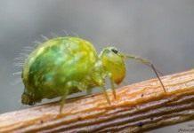 Зеленый сминтур, люцерновая блоха