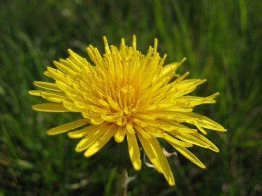 Одуванчик лекарственный (Taraxacum officinale)