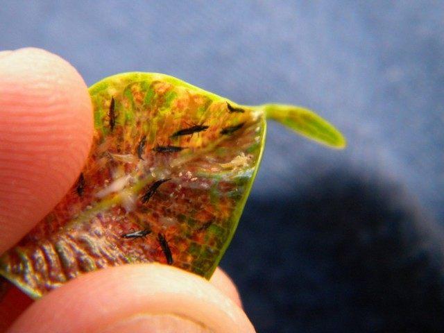 Трипсы, или пузыреногие (Thysanoptera)