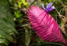 Тилландсия синяя (Tillandsia cyanea)