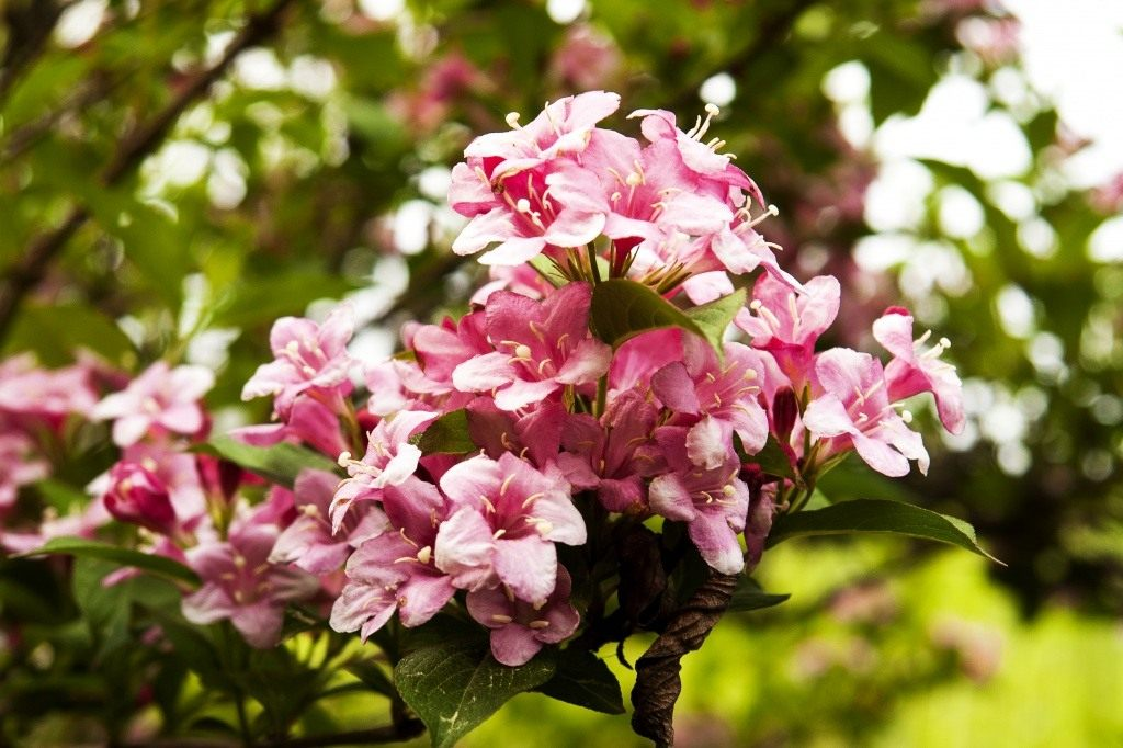 фото вейгела цветущая