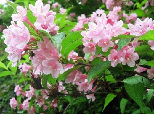 Вейгела садовая (лат. Weigela hortensis)