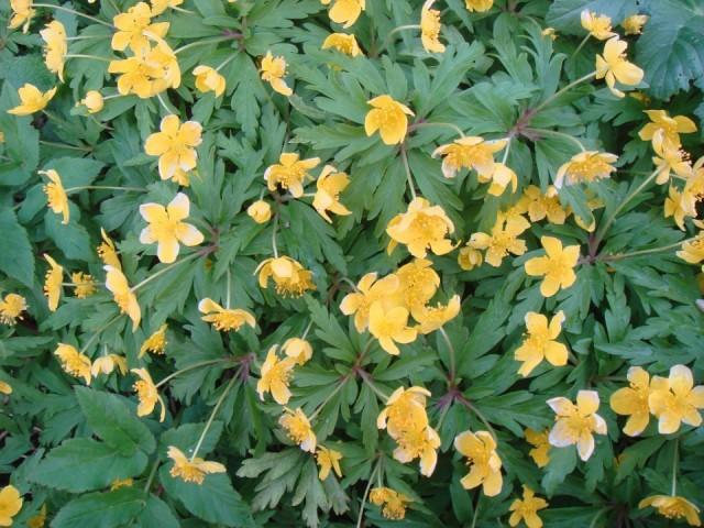 Ветреница лютичная (лат. Anemone ranunculoides)