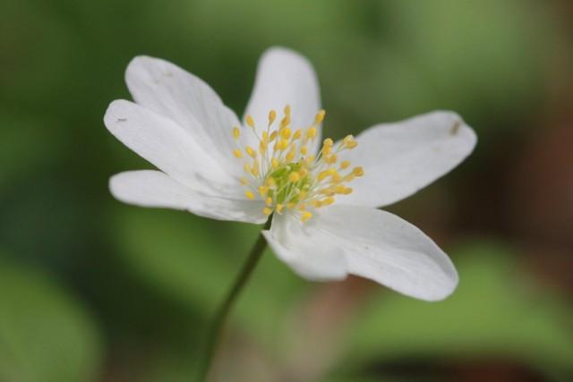 Ветреница дубравная (лат. Anemone nemorosa)