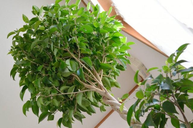 Фикус Бенджамина - неприхотливое вечнозеленое комнатное растение