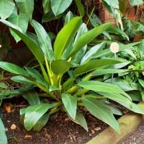 Ph. martianum. (Ph. cannifolium, Ph. crassum) - Филодендрон Мартиуса