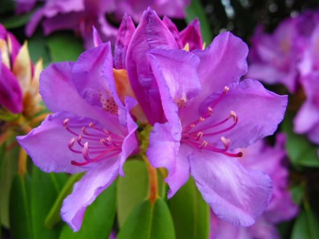 Цветок Рододендрона