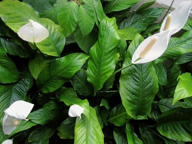 Спатифиллум обильноцветущий (Spathiphyllum floribundum)