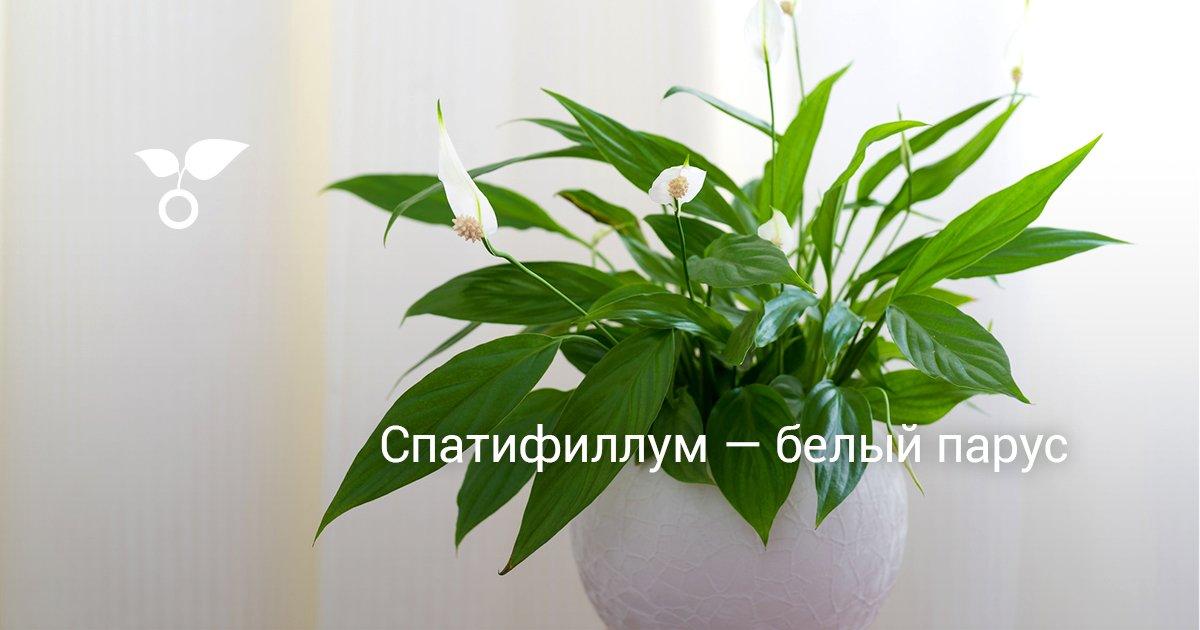 Спатифиллум когда цветет