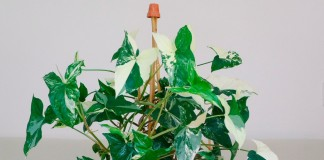 Сингониум (Syngonium) - красивая быстрорастущая лиана с многочисленными эффектными листьями