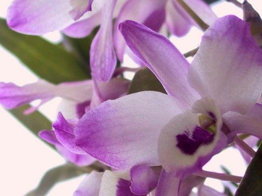 Орхидея Дендробиум (Orchidaceae Dendrobium)