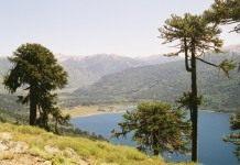 Араукария — домашняя ель
