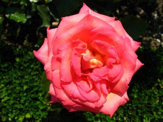 Роза биколетте чайно-гибридная