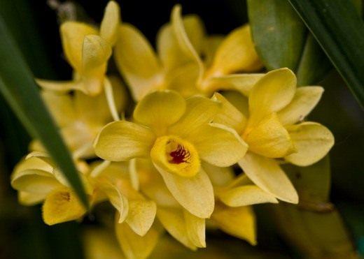Дендробиум (Dendrobium sulcatum)