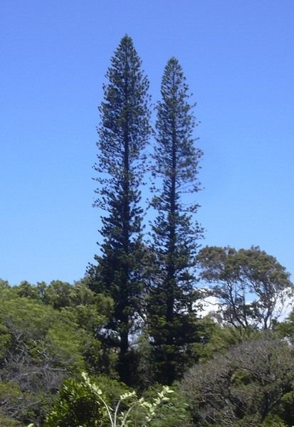 Араукария колонновидная (Araucaria columnaris)