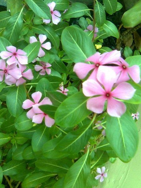 Катарантус розовый, в садоводстве больше известен под названием барвинок розовый