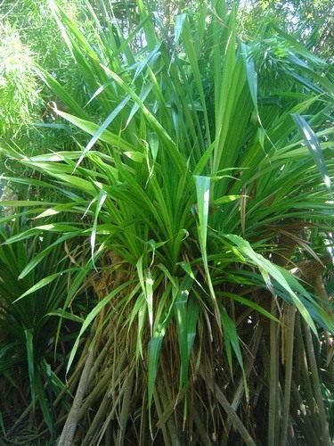 Домашняя пальма фото  посадка уход и какую выбрать для
