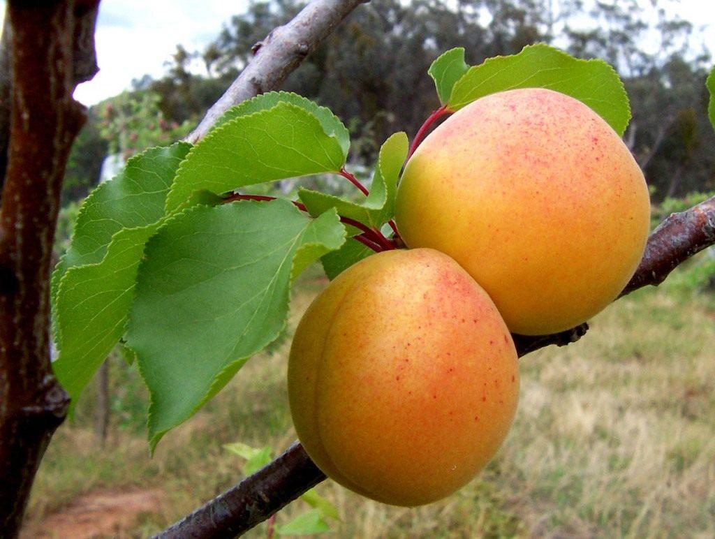 Уход за абрикосом