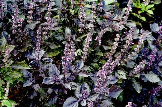 Цветение базилика фиолетового