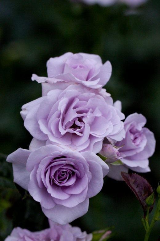 """Роза Флорибунда """"Blue Bajou"""""""