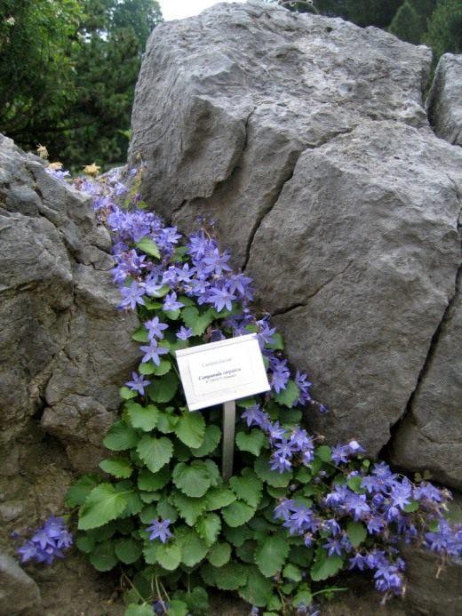 Колокольчик карпатский