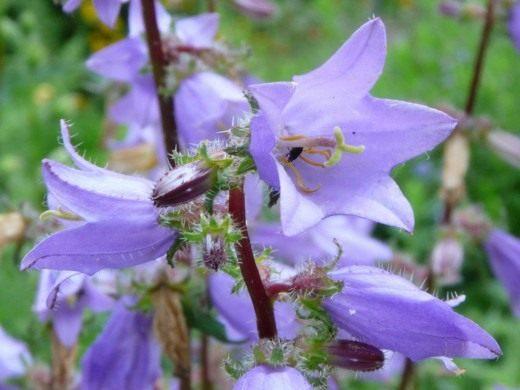 Колокольчик крапиволистный (Campanula trachelium)