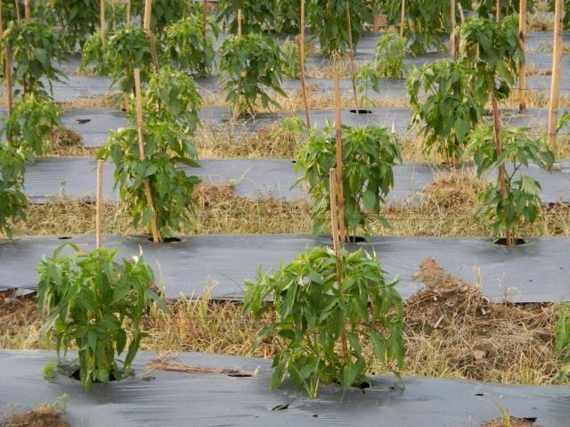 За летний период перцу делают от 3 до 5 корневых подкормок с интервалом в 10-12 дней
