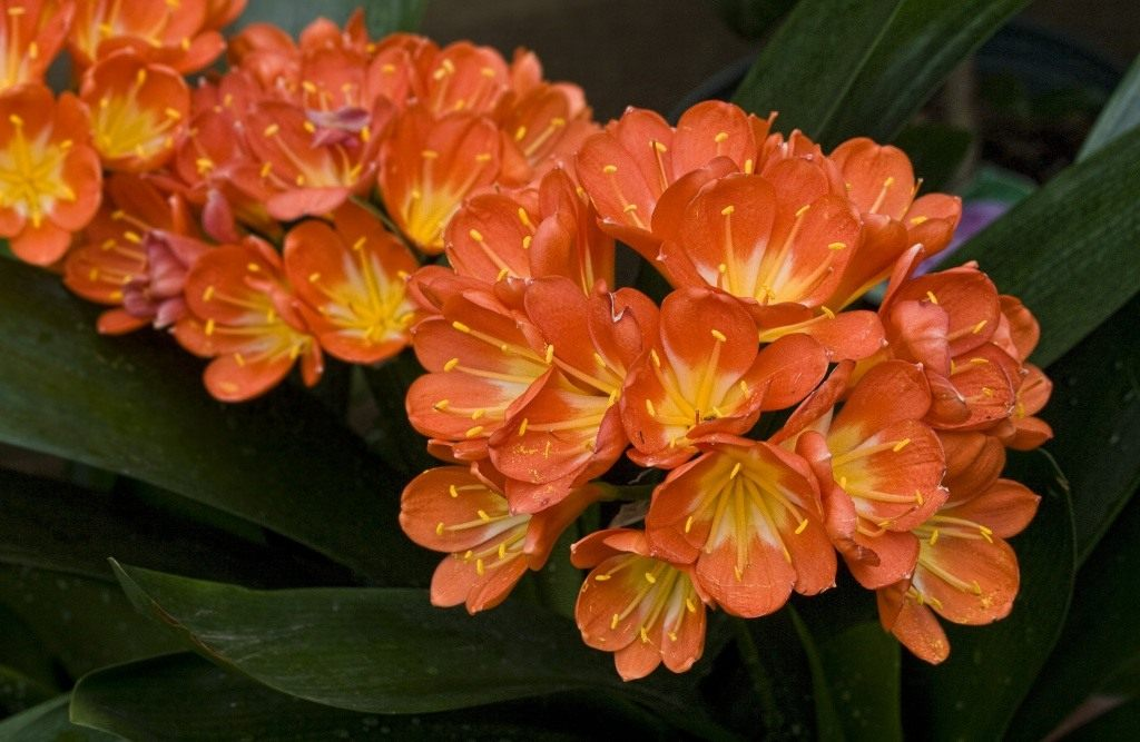 Цветок кливия киноварная: уход в домашних условиях
