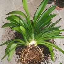 Во время пересадки можно провести разделение растения