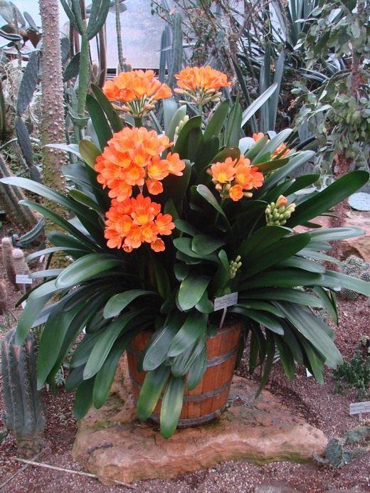 Кливия Гардена (Clivia gardenii).  Этот вид вырастает в высоту до полуметра.
