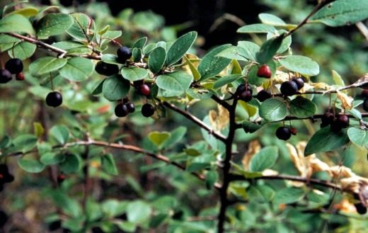 Кизильник черноплодный (Cotoneaster melanocarpus)