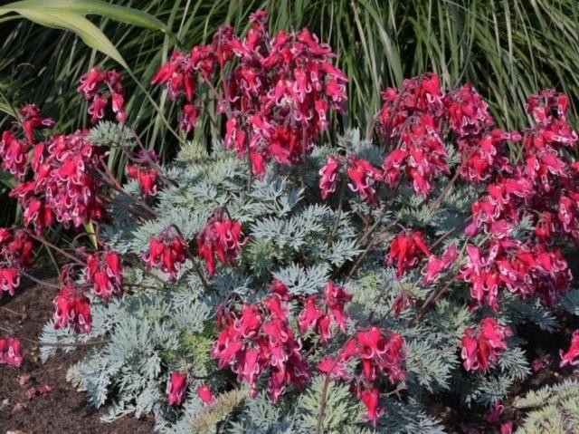 Дицентра красивая, или Сердцецвет красивый (Dicentra formosa)