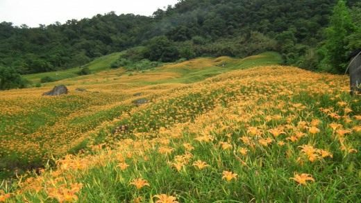 Поля лилейника в горах на о. Тайвань