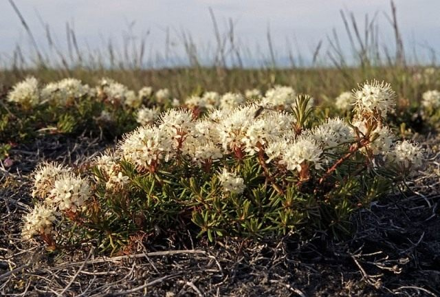 Багульник стелющийся, или Багульник простёртый (Ledum decumbens)