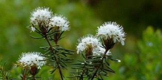 Багульник болотный (Ledum palustre)