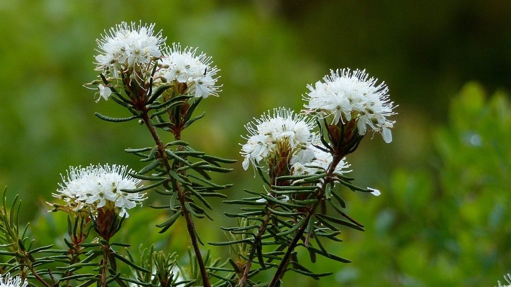 Растение багульник – размножение, посадка и уход