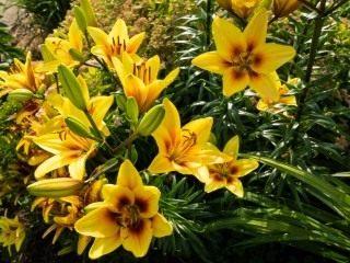 Лилия 'Yellow'