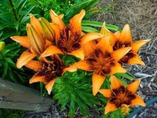 Лилия 'Orange Art'