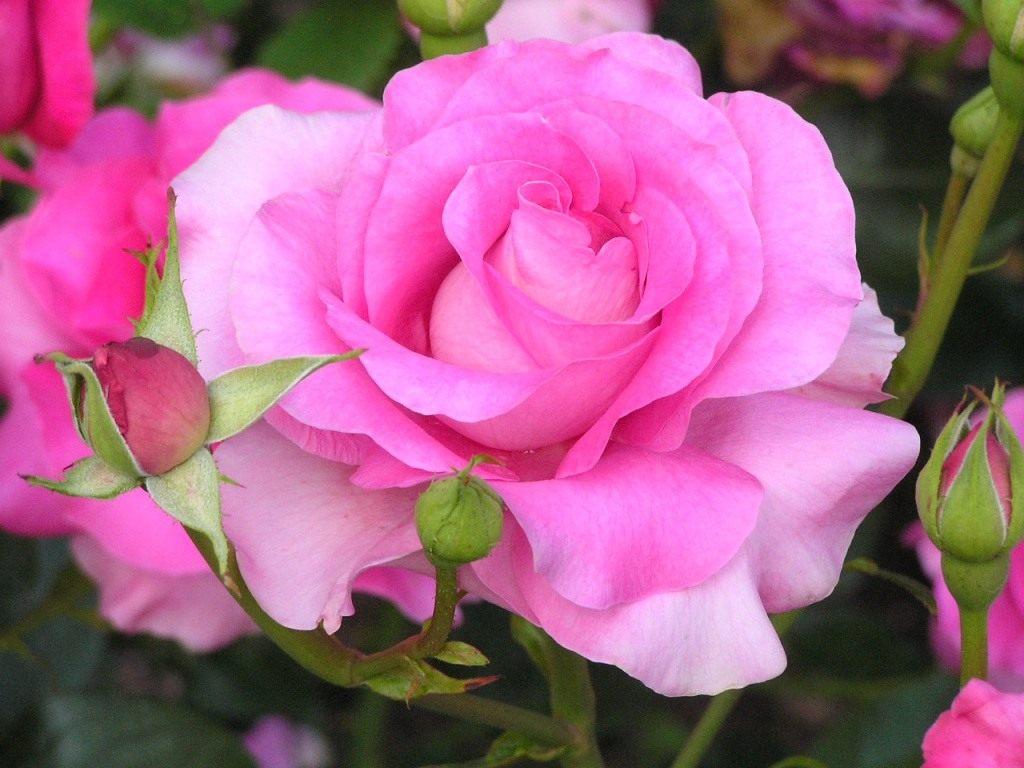 Роза �ло�иб�нда � Бо�ани�каru