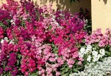 Левкой — классическое растение