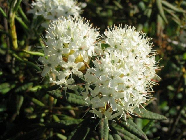 Рододендрон гренландский (Rhododendron groenlandicum), или Багульник гренландский (Ledum groenlandicum)