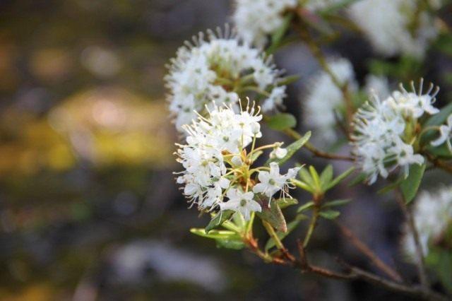 Рододендрон Толмачёва (Rhododendron tolmachevii), или Багульник крупнолистный (Ledum macrophyllum)