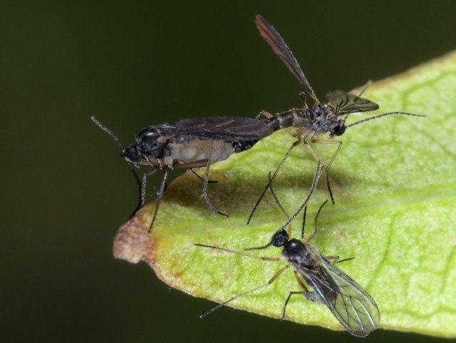 Сциарида (Sciaridae), или Листовой комарик, или Детритница, или Почвенный комарик, или цветочная мошка