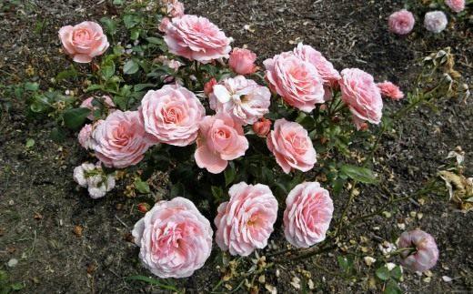Фото роза секси рекси