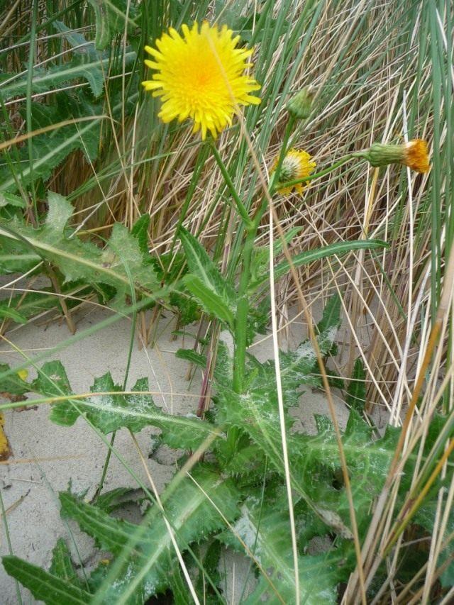 Осот полевой, или Осот жёлтый, или Осот молочайный (лат. Sonchus arvensis)