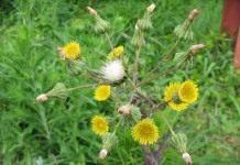 Осот — злостный сорняк
